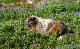 Het grijswitte eten van de Marmot Royalty-vrije Stock Foto