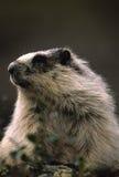 Het grijswitte Portret van de Marmot Stock Foto