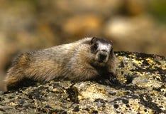 Het grijswitte Rusten van de Marmot Stock Afbeeldingen