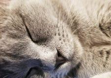 Het grijze Britse kleine close-up van de katjesslaap close-up van snuitkat Leuke potslaap stock afbeelding
