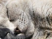 Het grijze Britse kleine close-up van de katjesslaap close-up van snuitkat Leuke potslaap stock foto