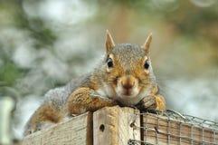 Het grijze eekhoorn Ontspannen Royalty-vrije Stock Afbeeldingen