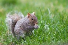 Het grijze eten van de Eekhoorn Royalty-vrije Stock Afbeeldingen
