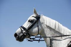 Het grijze gekleurde portret van het sportpaard tijdens de concurrentie royalty-vrije stock afbeeldingen
