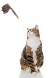 Het grijze gestreepte katkat spelen met een stuk speelgoed Royalty-vrije Stock Afbeelding