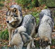 Het grijze huilen wolfs (wolfszweer Canis) stock afbeeldingen