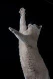 Het grijze kat spelen stock foto's