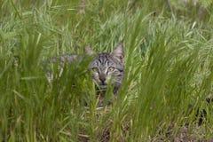 Het grijze kat verbergen in struik Royalty-vrije Stock Foto