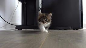 Het grijze katje nadert de camera met nieuwsgierigheid en wenst te spelen stock video