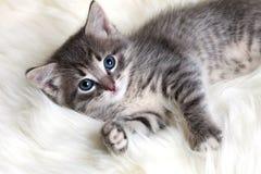 Het grijze katje rusten Stock Afbeeldingen