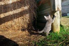 Het grijze katje spelen in hayloft in het gras royalty-vrije stock fotografie