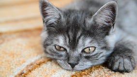 Het grijze katje van Brits ras valt in slaap stock footage