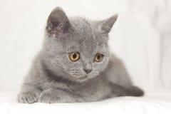 Het grijze katje ziet neer eruit Stock Fotografie