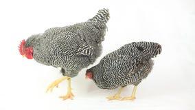 Het grijze kip en haan eten stock footage