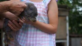 Het grijze konijn in de handen van een tiener breekt uit en is zeer doen schrikken Konijnlandbouwbedrijf, het kweken huisdieren,  stock videobeelden