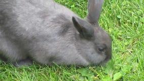 Het grijze konijntjeskonijn voeden op gras stock videobeelden