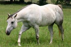 Het grijze Lopen van het Paard royalty-vrije stock afbeeldingen