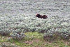 Het grijze mannetje draagt in Hayden Valley in het Nationale Park van Yellowstone in Wyoming de V.S. Royalty-vrije Stock Afbeelding