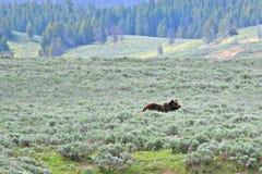 Het grijze mannetje draagt in Hayden Valley in het Nationale Park van Yellowstone in Wyoming de V.S. Stock Afbeeldingen