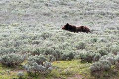Het grijze mannetje draagt in Hayden Valley in het Nationale Park van Yellowstone in Wyoming de V.S. Royalty-vrije Stock Foto