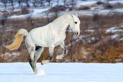 Het grijze paard dat van de vlek op sneeuwgebied galoppeert stock foto's