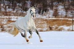 Het grijze paard dat van de vlek op sneeuwgebied galoppeert stock afbeeldingen