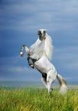 Het grijze paard grootbrengen Stock Foto