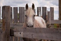 Het grijze paard kijken Stock Foto's