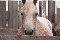Het grijze paard kijken Stock Foto