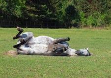 Het grijze paard rolt op een gras stock foto's