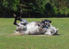 Het grijze paard rolt op een gras royalty-vrije stock foto