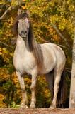 Het grijze paardportret in de herfst Stock Afbeelding