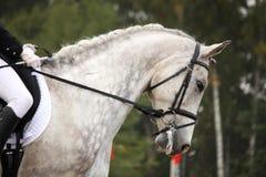 Het grijze portret AR van het sportpaard toont arena Stock Afbeelding