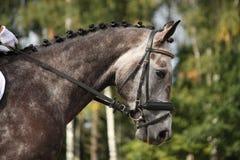 Het grijze portret van het sportpaard Stock Foto's