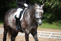 Het grijze portret van het sportpaard Stock Fotografie