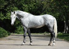 Het grijze ras van de paard orlov draver Royalty-vrije Stock Foto's