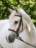 Het grijze Schot van het Hoofd van het Paard Stock Afbeeldingen
