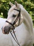 Het grijze Schot van het Hoofd van het Paard Stock Foto's