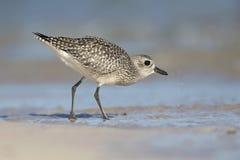 Het grijze squatarola van plevierpluvialis voederen op het strand van Florida Royalty-vrije Stock Foto