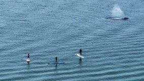 Het grijze walvis letten op Stock Fotografie
