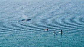 Het grijze walvis letten op Stock Afbeeldingen
