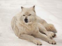 Het grijze wolf rusten Stock Foto