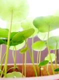 Het groeien in het heldere zonlicht Stock Foto
