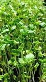 Het groeien microgreens Royalty-vrije Stock Afbeeldingen
