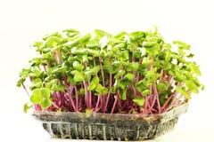 Het Groeien microgreens op plastic witte kop Stock Afbeeldingen