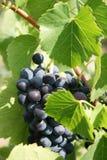 Het groeien op een wijnstok Stock Foto