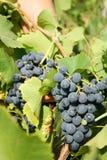 Het groeien op een wijnstok Stock Afbeelding