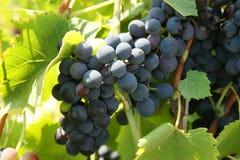 Het groeien op een wijnstok Royalty-vrije Stock Foto's