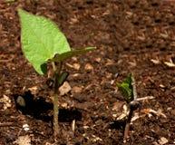 Het groeien (reeks 8 van 10) Stock Foto