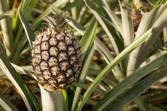 Het groeien van de ananas Stock Foto's
